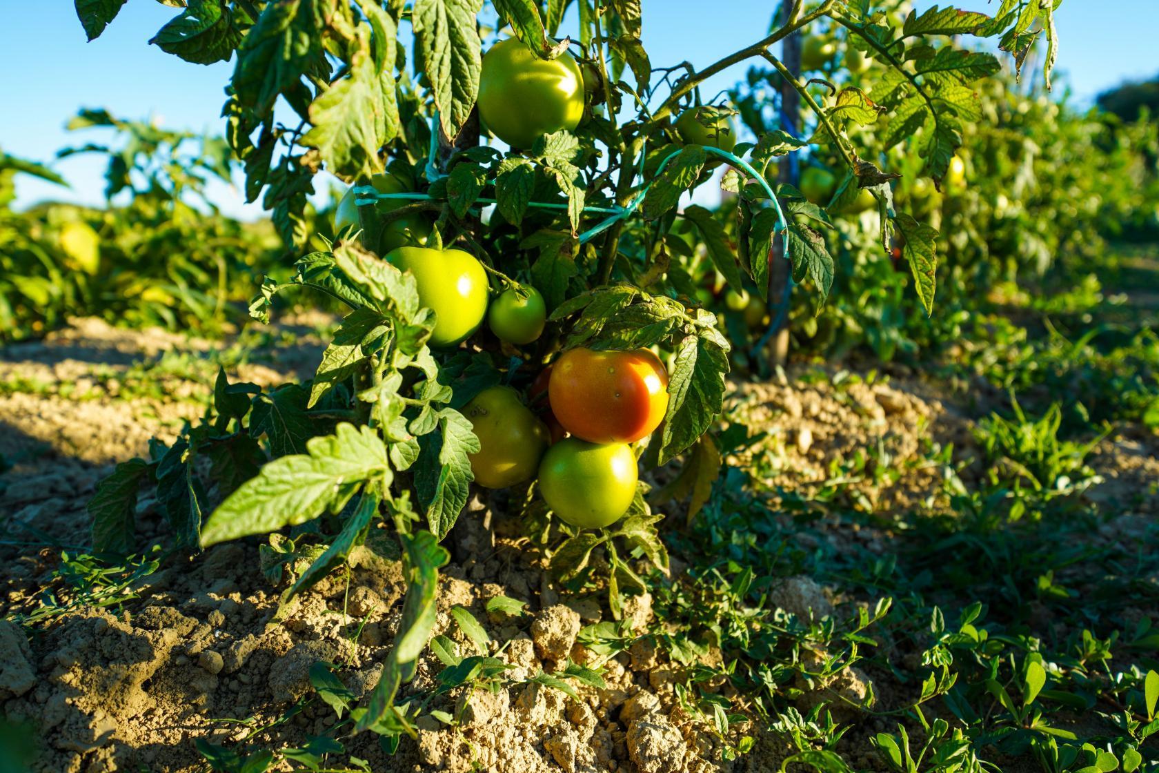 Villa Bandela, Visočane, eco garden, fruits and vegetables, www.zadarvillas.com